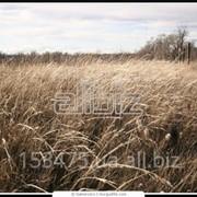 Оптовая торговля зерновых и маслянистых культур собственного производства фото
