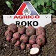 Картофель АГРИКО Роко (Roko) - среднеспелый фото