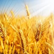 Зерно фуражное пшеница , кукуруза. фото