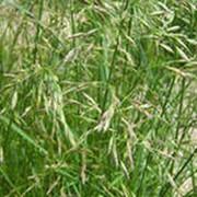 Овсяница тростниковая семена фото