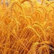 Куплю зерно Николаев фото