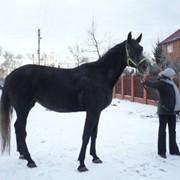 Лошадь рысисто-гановерская помесь фото