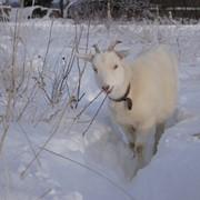 Коза для съемок фото