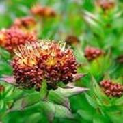 Золотой корень (родиола розовая) 30г фото