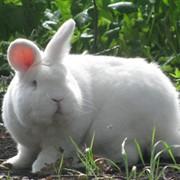 Племенные Кролики породы Новозеландский Белый фото