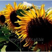 Семена подсолнечника НСН12055* фото