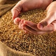 Закупка продовольственного зерна фото