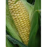 Семена гибридов кукурузы: Росс 140 СВ ФАО-150 фото