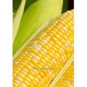 Кукуруза. фото