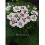 Цинерария цветущая к 8-му марта. фото