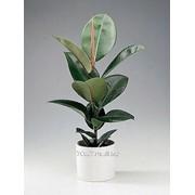 Фикус Ficus elastica фото