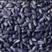 Семена подсолнечника Днестр фото