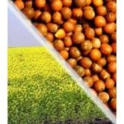 Горчица семена, семена горчица фото