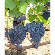 Виноград Велика Grapes Velika фото