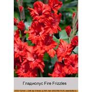 Гладиолус Fire Frizzles фото