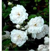Роза Seafome фото