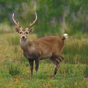 Охота на беломордого оленя в Китае фото