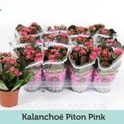 Каланхоэ Блоссфельда Питон розовый -- Kalanchoe blossfeldiana Piton Pink фото