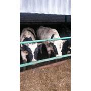 МКРС(быки) живым весом закупка фото
