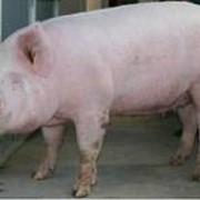 Поросята сальных пород свиней, свиньи племенные, разведение, продажа, животноводство фото