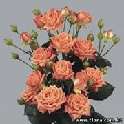 Роза кустарниковая Barbados фото