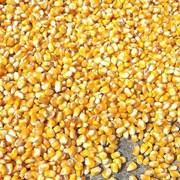 Кукуруза фуражная. фото