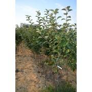Саженцы яблонь разных сортов, 3г., укоренены в контейнерах 8л, высота 200см фото
