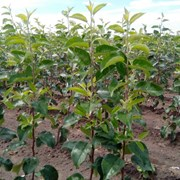 Саженцы яблони оптом. фото
