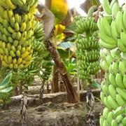 Туры выходного дня : Оранжерея банановых пальм фото