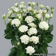 Роза кустарниковая Snowflake фото
