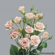 Роза кустарниковая Lydia фото