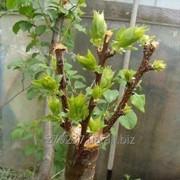 Прививка фруктовых деревьев и винограда фото