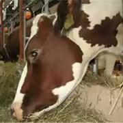 Комбикорма для крупного рогатого скота фото