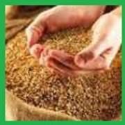 Поставка пшеницы фото