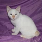 Котята меконгского бобтейла фото