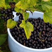 Смородина черная сорт Вернисаж, ягоды свежие,смородина, купить оптом, Киев, Житомир,Украина фото