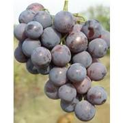Виноград сорт Кардинал фото