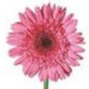 Розовая гербера фото