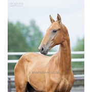 Продаётся ахалтекинский жеребец по кличке Гамбит/Akhal-Teke stallion sale named Gambit фото