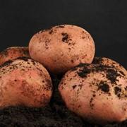 Среднепоздний столовый сортовой картофель Журавинка фото