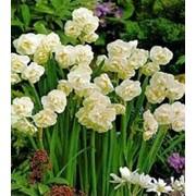 Луковицы цветов: тюльпаны, лилии, нарциссы. фото