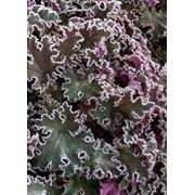 Гейхера гибридная (Purple Petitcoats) фото