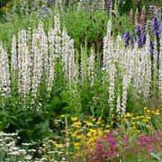 Цветы многолетние семена. Вербаскум смесь фото