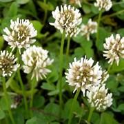 Клевер ползучий (белый) (Trifolium repens) фото