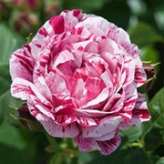 Роза парковая Фердинанд Пичард фото