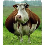 Мясо корова 1-й категории в полутушах фото