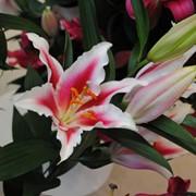 Луковица лилии фото