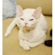 Молодая кошечка породы Девон-Рекс фото
