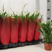 Спатифиллум Йесс -- Spathiphyllum Yess фото