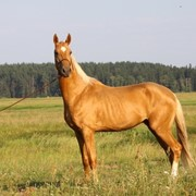 Ахалтекинский жеребец Schaf-Tulo Akhal-Teke stallion Schaf-TuloAsgatzhamal фото